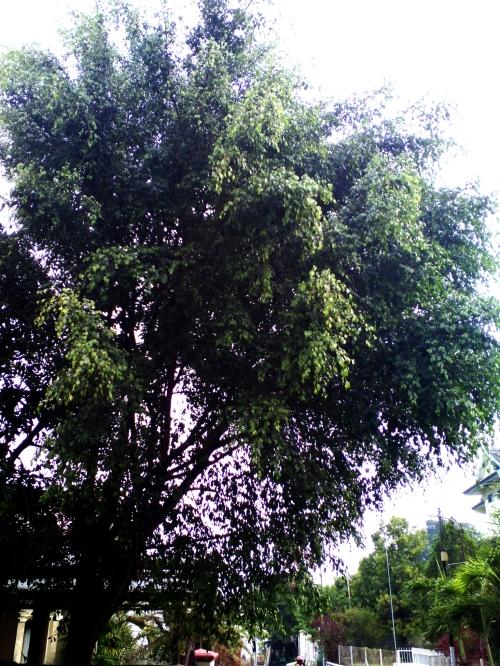 pohon_beringin